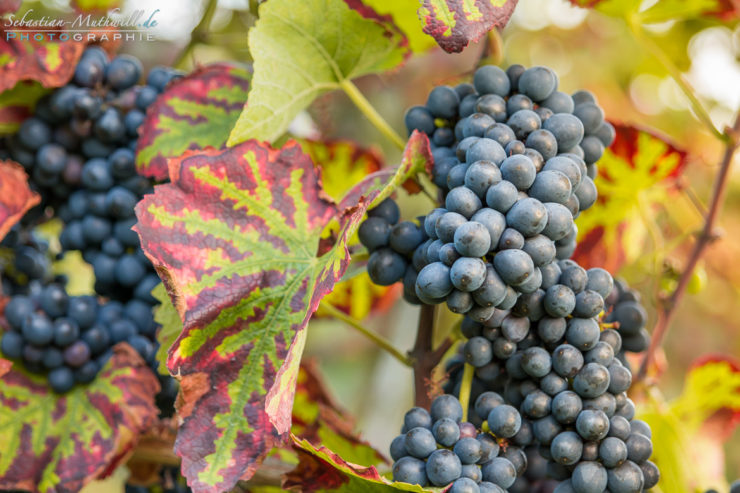 20140909-17462_vine-autumn